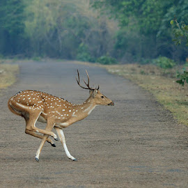 The Leap by Vinod Acharekar - Animals Other Mammals ( crossing, jumping, wildlife, road, deer )