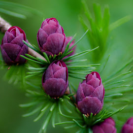 Tamarack Cones by Gary Hanson - Flowers Tree Blossoms ( purple, tamarck, green, needles, spring, cones, , renewal, trees, forests, nature, natural, scenic, relaxing, meditation, the mood factory, mood, emotions, jade, revive, inspirational, earthly )