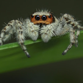 Salticidae I by Muhd Shahjeehan - Animals Insects & Spiders