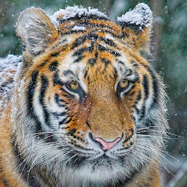 Siberian Bliss by John Larson - Animals Lions, Tigers & Big Cats