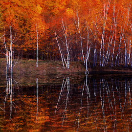 White Birch Reflections by Janet Lyle - Landscapes Waterscapes ( autumn, fall, trees )