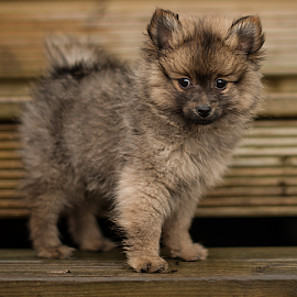 hugo  by Michael Sweeney - Animals - Dogs Puppies ( scotland, natural light, wood, d800, nikond800 puppy dog, puppy, michael m sweeney, dog, boy, pomeranian, 2 months puppy )