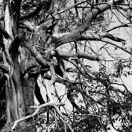 Tree - Struck by Lightning and Hit by Tornado by Rhonda Musgrove - Nature Up Close Trees & Bushes ( lightning, nature, tree, black and white, tornado )