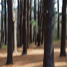 Pine Grove by David Stone - Landscapes Forests ( abstract, pine grove, ipswich, trees, forest, spring, crane estate )