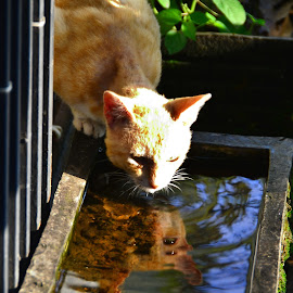 Thirsty.. by Gatot Sulistyawan - Animals - Cats Portraits