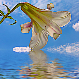 white lily by LADOCKi Elvira - Digital Art Things ( nature, color, 2014, flowers, garden )