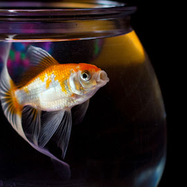 Fish Lips by Kristy Lester - Animals Fish ( orange, pet fish, fish bowl, fish, goldfish,  )