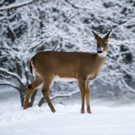 by Jim Wallace - Animals Other ( winter beauty,  )