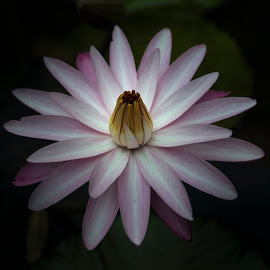 Lotus by Bhuvanesh Hadkar - Nature Up Close Gardens & Produce ( waterlily, lotus, pink, flower )