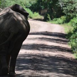 Retiring by Shashank Pattekar - Novices Only Wildlife ( lake manyara, elephant, road, africa, tanzania )