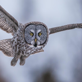 Great Gray Owl by Tom Samuelson - Animals Birds