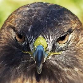 HawksStare by Joanne Burke - Animals Birds