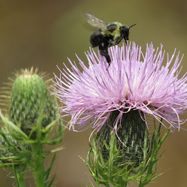 The Take-Off!! by Cindy Cooper Houser - Animals Insects & Spiders ( thistle, thistle flower, bugs, bee, bumblebee, bug, pirple, insects, insect, flower )