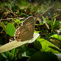 Common Caerulean
