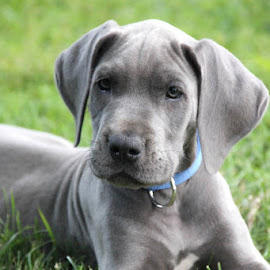 Buddy by A R - Animals - Dogs Puppies ( great dane )
