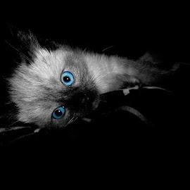 Baby Blue Eyes by Ashli Bush - Animals - Cats Kittens