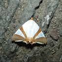 Straight-edged Eulepidotis Moth