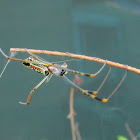Banded-legged Golden orb-web spider