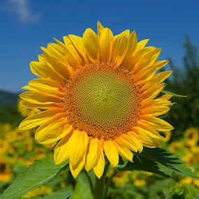 Sunshine by Roy Walter - Flowers Single Flower ( nature, single flower, sunflower, flowers )