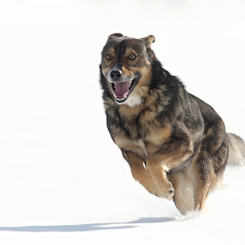 The smiling dog by Nikolay Stoilov - Animals - Dogs Running ( winter, happy, snow, smile, dog, running, animal )