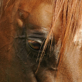 Bareeds Eye by Manal Ali - Animals Horses ( colts, equine, horses, stallions, stud, beauty, stables, arabian, equestrian,  )