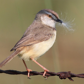 Black-chested Prinia. by Andrew Keys - Animals Birds