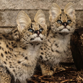 Serval cubs by Garry Chisholm - Animals Lions, Tigers & Big Cats ( garry chisholm, predator, carnivore, serval, nature, wildlife )