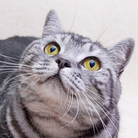 What's mama saying? by Mia Ikonen - Animals - Cats Portraits ( female, plush coat, finland, silver tabby, british shorthair,  )