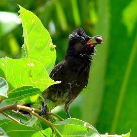 Priced by Umesh Halder - Animals Birds ( bulbul, bird, nature )