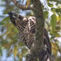 Javan Hawk - Eagle