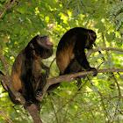Mantled Howler Monkeys