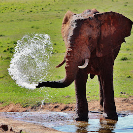 Elephant by Elzaan le Roux - Animals Other Mammals ( big 5 game, nature, elephant, action, wildlife )