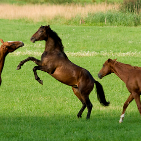 Three horses together by Allan Wallberg - Animals Horses ( horses, fight, together, battle, sunny, horse: horses; game; kamp, outdoors, three, combat, brown, handsome, green grass, out,  )