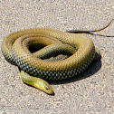 Montpellier Snake