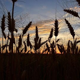 Sunset. by Denton Thaves - Landscapes Sunsets & Sunrises ( wheat, field )