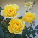 Harison's Yellow Rose
