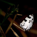 The Banded Blue Pierrot
