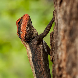 Rock Agama by Somabrata Pramanik - Animals Reptiles ( reptiles of hyderabad, lizard, rock agama, ahobilam, reptiles of india, hyderabad, tree lizard, andhra pradesh, nallamala forest )