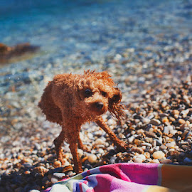 After Bath by Petros Sofikitis - Animals - Dogs Portraits ( blue, pet, fur, sea, wet, dog )