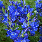 "Veronica ""Crater Lake Blue"""