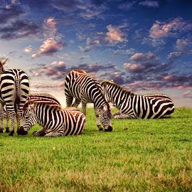 Zebras Grazing by Kelly Murdoch - Animals Other Mammals ( colour, resting, animals, grass, wating, pack, stripes, group, zebras, ztam )