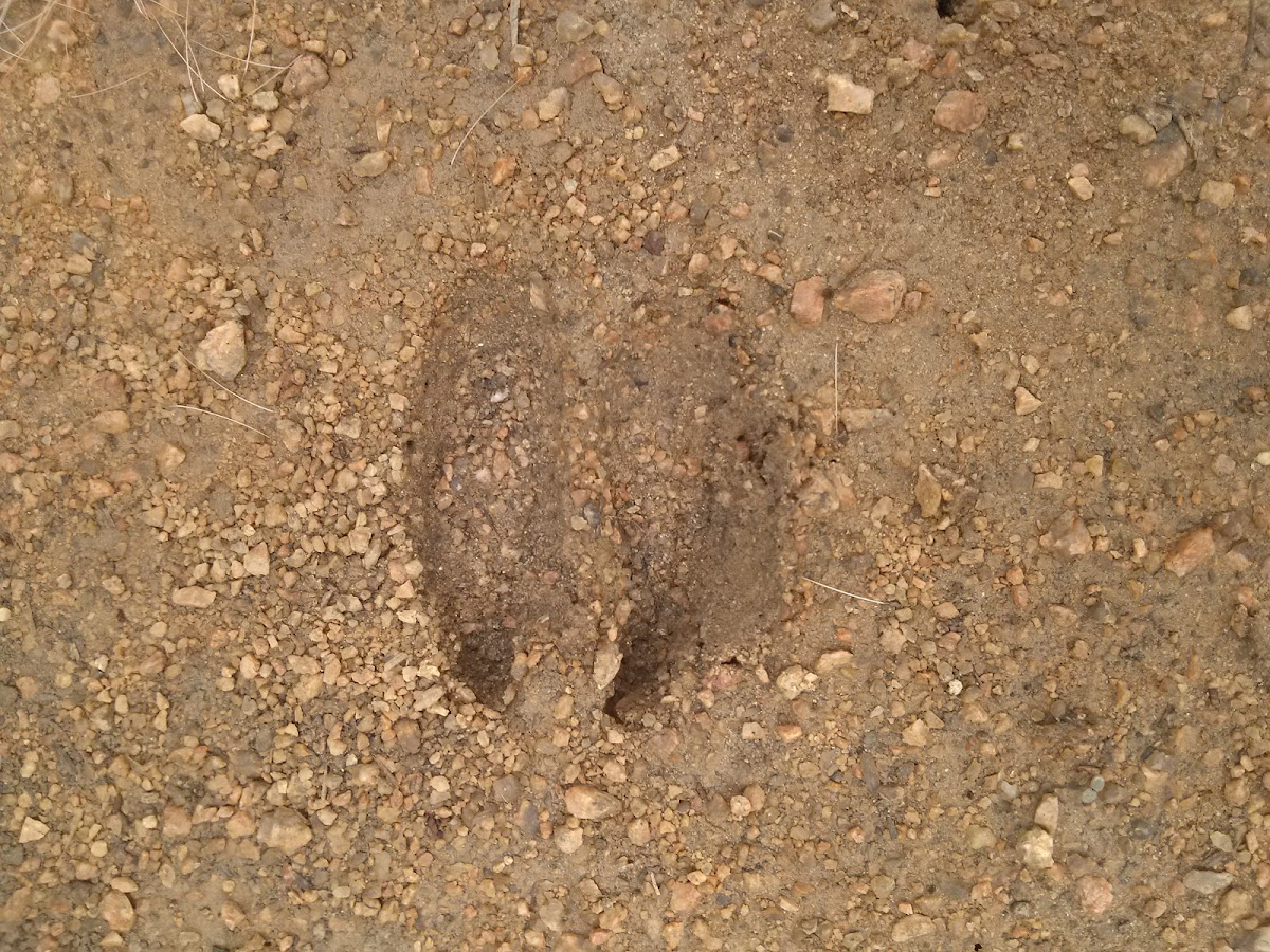White tail deer foot print