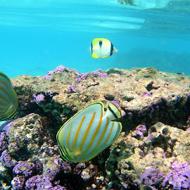 Butterfly Fish by Terry Niec - Landscapes Underwater ( reef, underwater, fish, tropical fish, moorea, butterfly fish )