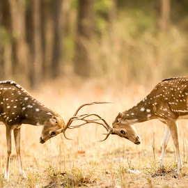 Fight for Identity by Surajit Dutta - Animals Other Mammals ( nature, wildlife, portrait, animal, deer )