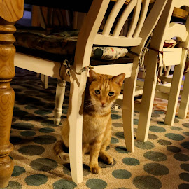 Hiding Here by Tim Davies - Animals - Cats Portraits ( cat, camo, hiding, table, golden )
