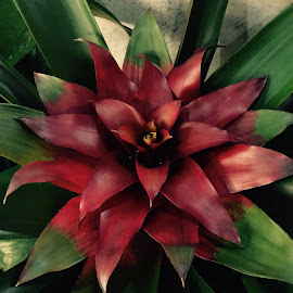 Red Star by Lope Piamonte Jr - Novices Only Flowers & Plants