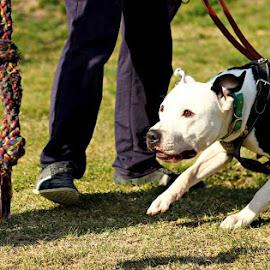 Pitbull by Mahmut Sami - Animals - Dogs Playing ( #dog )