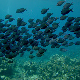 School of Doctorfish by David Gilchrist - Animals Fish ( fish schooling, fish, doctorfish, roatan marine park underwater photo )