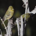 Lesser Goldfinch    pair