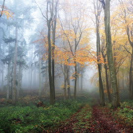 Two Woods Meet by Ceri Jones - Landscapes Forests ( autumn, trees, woodland, forest, beech, pine, woods )